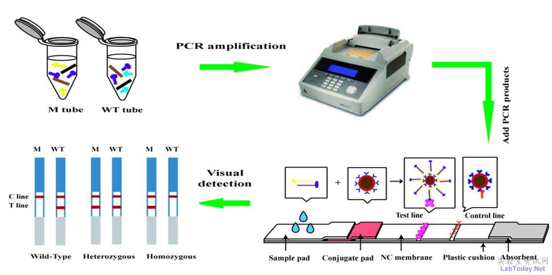 """PCR-金磁微粒层析技术具有灵敏度高,高特异性、高准确度、设备投入少、易于操作、普适性强、可广泛推广应用等特点。该方法学对上万份临床样本的基因型进行了检测,检测结果与测序比对,符合率几乎达到100%。 从金磁微粒的制备、修饰到基因检测方法学的建立,本项技术基于多学科交叉的研究成果先后获得5项发明、国家科技部""""863计划""""以及国家科技重大专项""""重大新药创制""""的资助。基于此平台技术,科研团队还在开发其他SNP位点基因检测的试剂盒产品的研发和报批,预期在相关疾病"""
